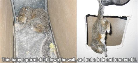 Squirrel In Ceiling by How Do Squirrels Get In Your House 45degreesdesign