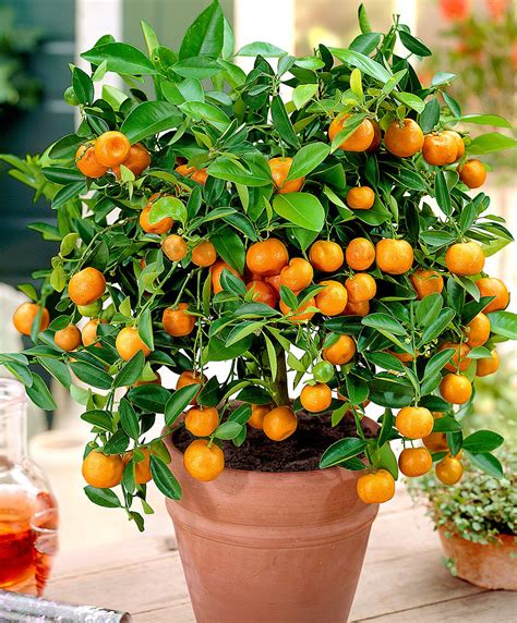 Cool Planters by Buy A Container Plant Now Calamondin Calamondin Bakker Com