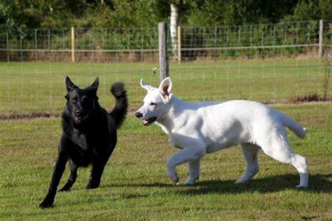 black and white german shepherd puppies white and black german shepherd puppies