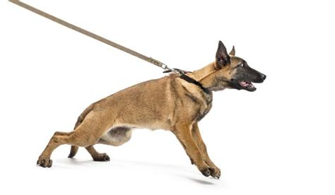 best leash for pulling how no pull harnesses and collars help with leash pulling