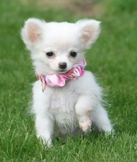i want puppies i want an all white chihuahua puppy would look so presh together