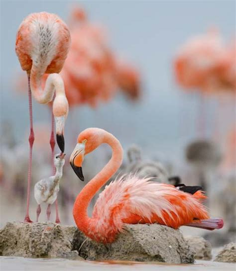 kumpulan foto burung flamingo yang indah gambarbinatang