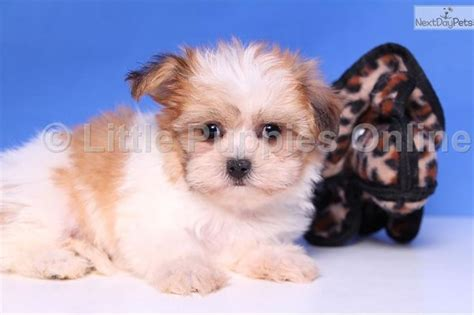 pictures images grooming styles female mal shi fe meet flo a cute mal shi malshi puppy for sale for 499