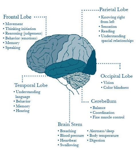 brain sections and what they do 25 best ideas about occipital lobe on pinterest brain