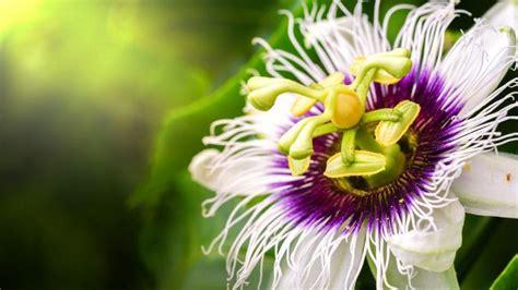 passiflora fiore della passione passiflora il fiore della passione paginemediche