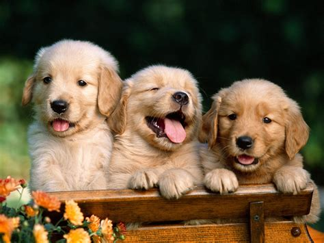 golden retriever and golden retriever