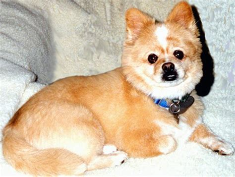 why were pomeranians bred adorable pictures of corgi cross bred dogs pomeranian mix and corgi pomeranian mix