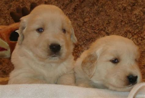 golden retrievers for sale in nh golden retriever for sale in nh photo