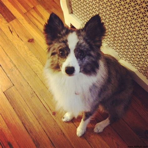 australian shepherd pomeranian pomeranian german shepherd mix the knownledge