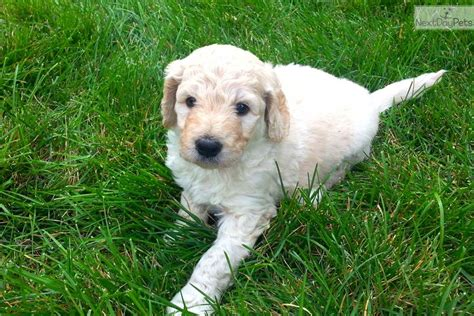 goldendoodle puppies for sale in colorado adorable f1b goldendoodle puppy goldendoodle puppy