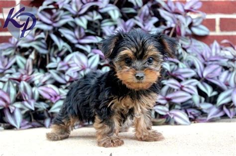yorkie puppies in pa 11906 best images about beautiful yorkies on yorkies terriers