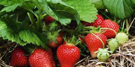 10 Tips On Growing Great Plants This Summer by 10 Tips For Growing Strawberries Plant