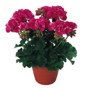 geranium shocking pink plant plants plus online store