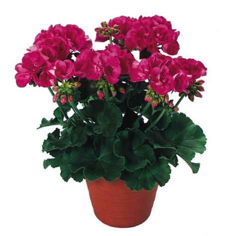 geranium plant buy plants online india