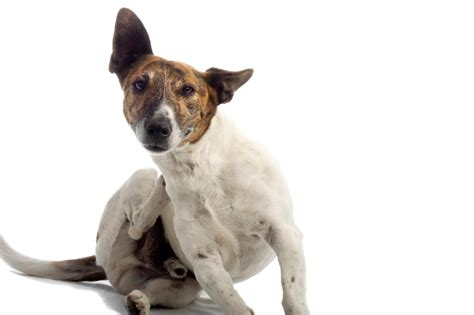 itchy skin on dogs 5 home remedies for doggone itchy skin best bully sticks