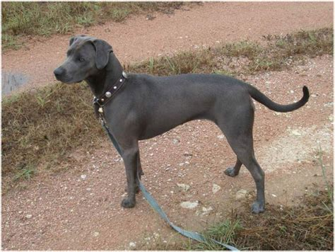 blue lacy blue lacy facts pictures puppies breeders price temperament animals adda