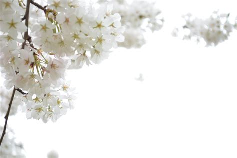 Beautiful Backyard National Cherry Blossom Festival In Washington D C The