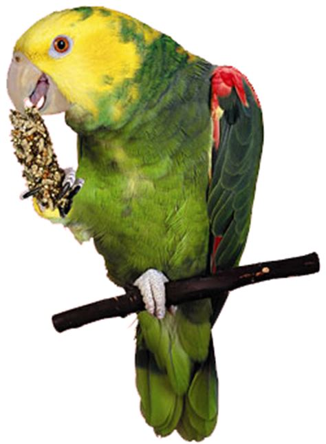 amazon parrot's png images ~ geo png images