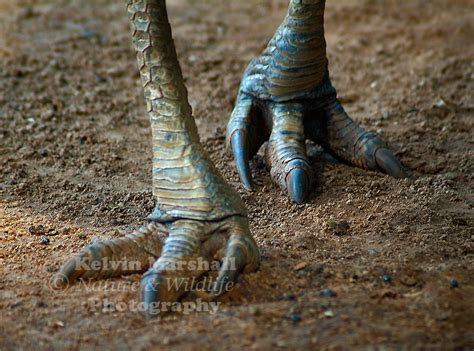 the feet of the southern cassowary casuarius casuarius