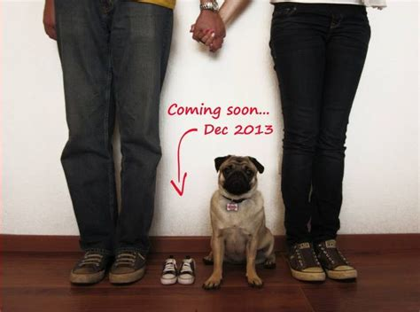 bugaboo pugs announcing pregnancy lifewithdogs pug hansi pug sibling and pregnancy