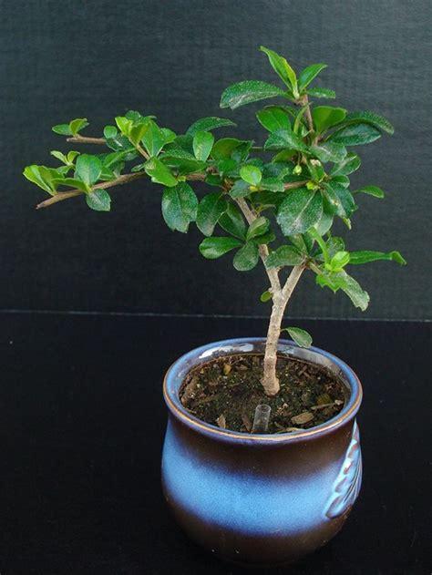 libro indoor bonsai for beginners best 25 indoor bonsai tree ideas on indoor bonsai maple bonsai and japanese maple