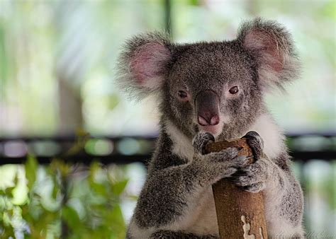 koala bear wallpapers hd