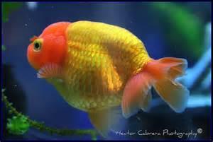 goldfish ranchu Hector Cabrera 01 Dec 2011 12:32 92k
