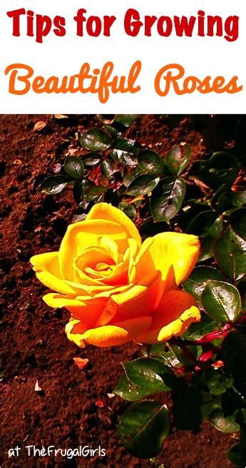 13 rose gardening tips for beginners to pros the frugal
