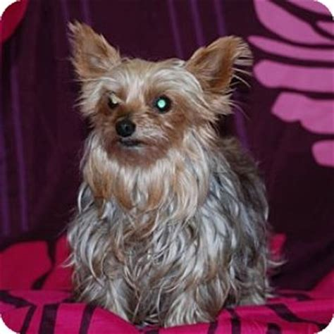 yorkie puppies for adoption in pa pet not found