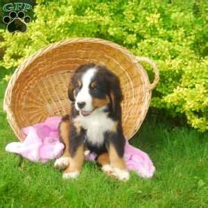bernese mountain puppies michigan bernese mountain puppies for sale greenfield puppies
