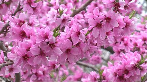 fiori di pesco giapponese primavera fiore di pesco fuefuki giappone rf clip