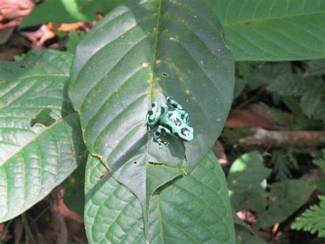 poison dart frog picture of leaves and lizards arenal