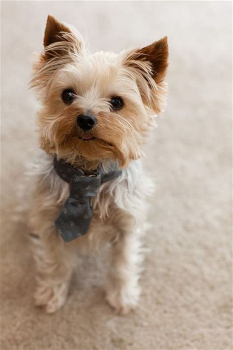 yorkie with undocked 17 best yorkies with tails undocked yorkies images on grooming