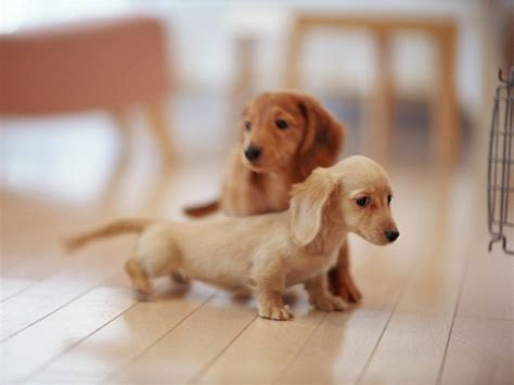 best small dogs to own mini dachshund 15 best small breeds for indoor pets