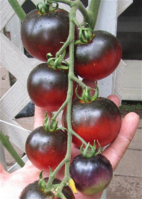 Benih Tomat Indigo Apple Paketan indigo apple tomato seed tomato growers supply company