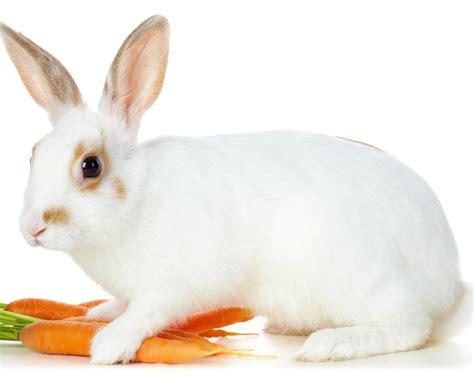 animal wildlife cute white rabbit hd wallpapers