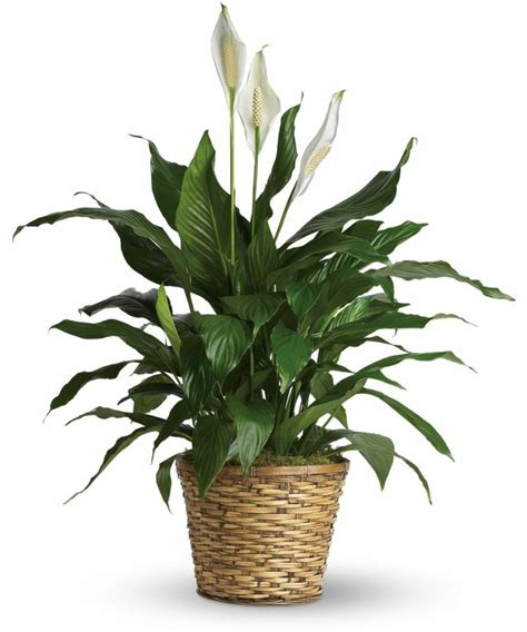 indoor plants indirect sunlight five indoor plants that absorb humidity houz buzz