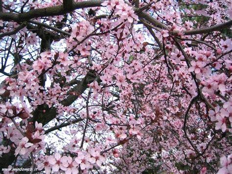 sfondi fiori di pesco foto primavera 7