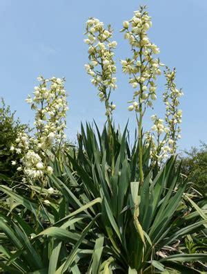 gartenyucca pflege f 228 dige palmlilie gartenyucca yucca filamentosa pflege