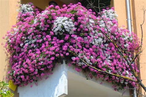 balconi fioriti in inverno agnosine balconi e giardini fioriti