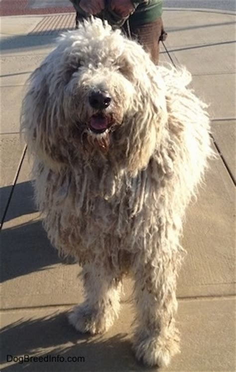 komondor puppies for sale near me komondor puppy information photo