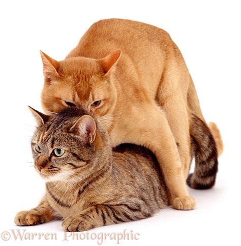 cats mating photo wp00630