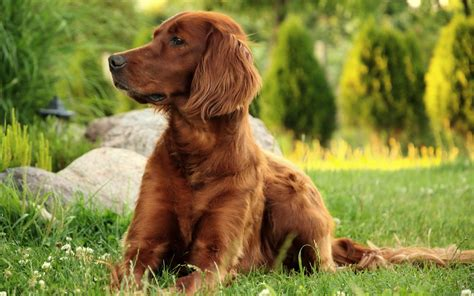 setter dog short hair fonds d 233 cran chiens chiots gratuits