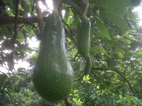 Bibit Alpukat Jawa Barat bibit buah alpukat cv mutiaratani agrisarana
