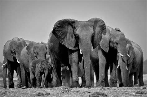 google images elephant elephants black and white google search e l e p h a n