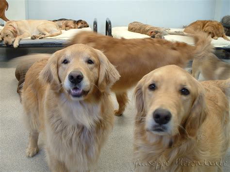 tumors in golden retrievers golden retrievers and cancer the daily golden
