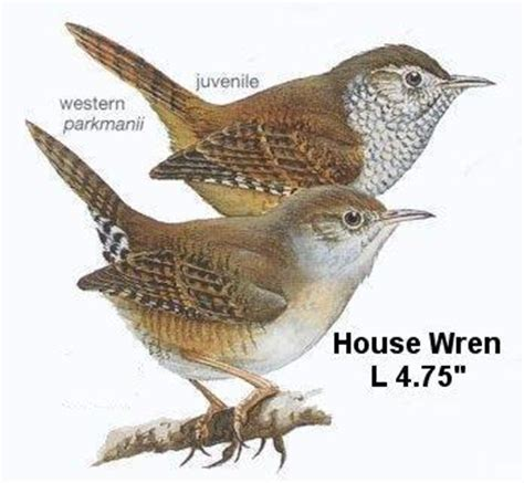 house wren bird oregon birds house wren