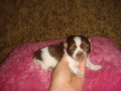 puppies for less teacup pomeranian puppies for sale