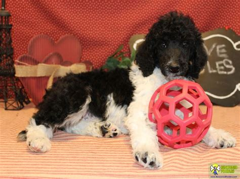 parti poodle puppies brody standard parti poodle puppy renowned poodles