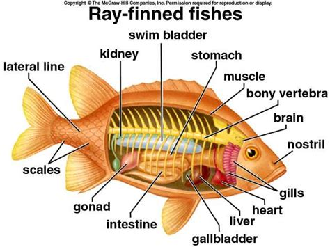 diagram of a bony fish 4 gb 24 cla ani ve spr2003